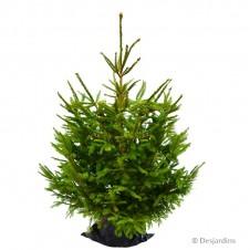 """Sapin naturel en motte """"Epicea Excelsa""""  - 125/150 cm"""