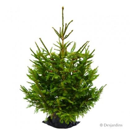 """Sapin naturel en motte """"Epicea Excelsa"""" - 150/175 cm"""