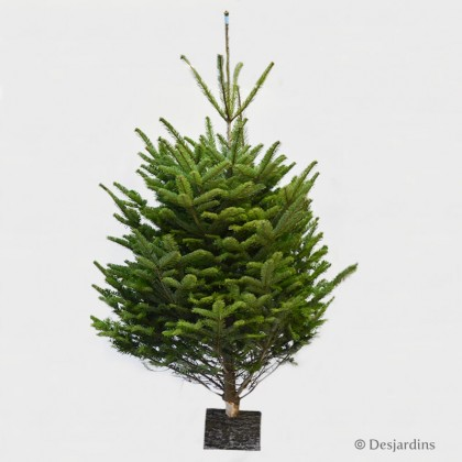 "Sapin naturel coupé ""Abies Nordmann"" - 225/250 cm"