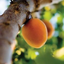 """Abricotier """"Précoce de Saumur"""" en motte - Prêt-à-planter"""
