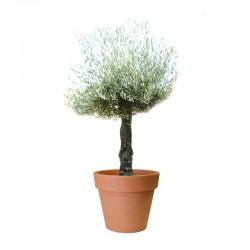 Olivier mini bonsaï en pot 110L - Hauteur 140/160cm