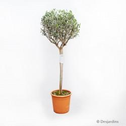Olivier mini-tige - pot de ø36cm - hauteur 150/200cm