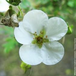 """Potentilla fruticosa """"Abbotswood"""" - 3L"""
