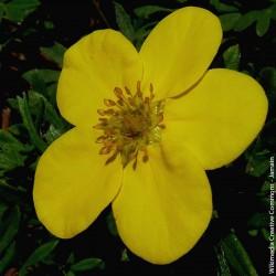 """Potentilla fruticosa """"Goldfinger"""" - 3L"""
