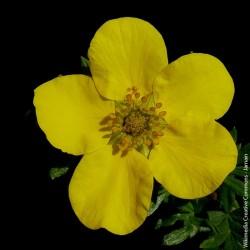 """Potentilla fruticosa """"Goldstar"""" - 4,5L"""