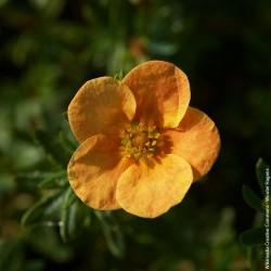 "Potentilla fruticosa ""Hopley's orange"" - 3L - H25/30cm"