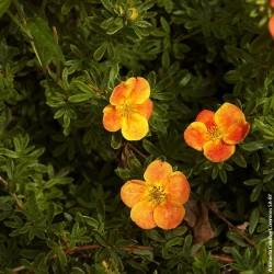 """Potentilla fruticosa """"Red Ace"""" - 3L - H25/30cm"""