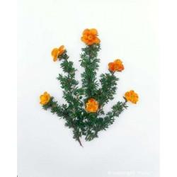 """Potentilla fruticosa """"Tangerine"""" - 3L - H25/30cm"""