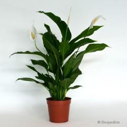 Spathiphyllum - Ø13CM