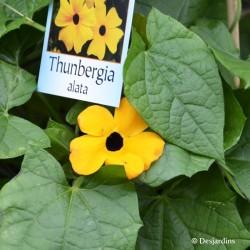 Thunbergia jaune orangé - ø13cm