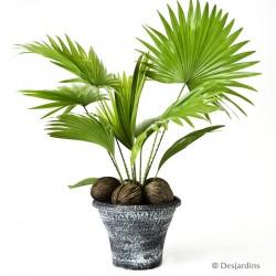 Livistona avec cache-pot noir - ø18cm