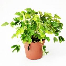 Mimosa pudica - ø6cm