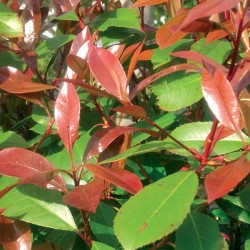 """Photinia """"Red Robin"""" - 3L"""