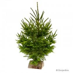 Sapin naturel - Picea Excelsa - 100/150cm