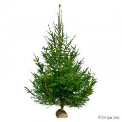 Sapin naturel - Picea Excelsa - 150/200cm