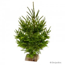 Sapin naturel -  Picea Excelsa - 80/100cm