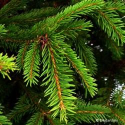 Sapin naturel en motte - Picea Excelsa - 125/150cm