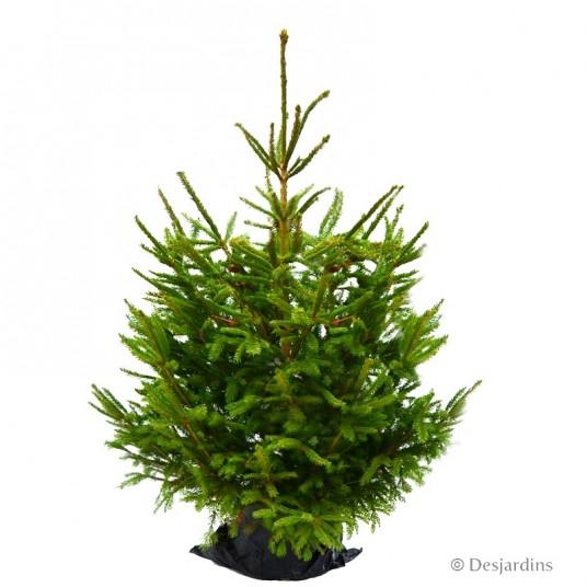 """Sapin naturel en motte """"Epicea Excelsa"""" - 100/125 cm"""