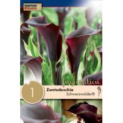 """Zantedeschia """"Schwarzwalder""""  Blanken X1 - Calibre 14/16"""