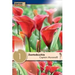 """Zantedeschia """"Captain Murano""""  Blanken X1 - Calibre 14/16"""