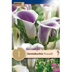"""Zantedeschia """"Picasso""""  Blanken X1 - Calibre 14/16"""