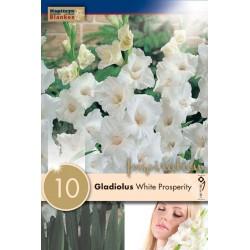 """Glaïeul """"White Prosperity"""" Blanken"""