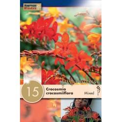 """Crocosmia """"Crocosmiiflora"""" en mélange Blanken  X15"""