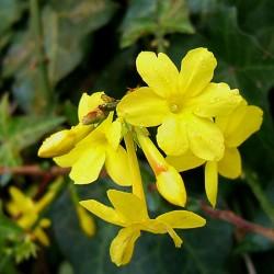 Jasminum nudiflorum - 90/120cm