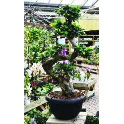Ficus Ginseng - ø35 cm