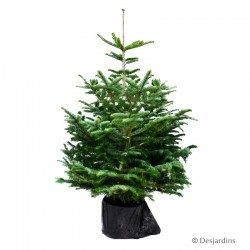 Sapin naturel en pot Abies Nordmann - 80/100 cm