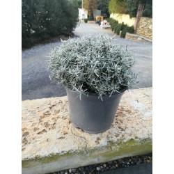 Helichrysum italicum touffe p18 - DELLA VALLE