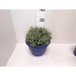 Lavandula hidcote touffe p25 - DELLA VALLE