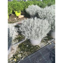Helichrysum italicum touffe p25 - DELLA VALLE