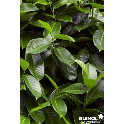 PRUNUS laurocerasus Rotundifolia 125/150 C15L - SILENCE ÇA POUSSE