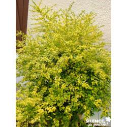 LIGUSTRUM sinensis Lemon And Lime® C6L-DECO - SILENCE ÇA POUSSE