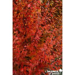 CARPINUS betulus Orange Retz C15L - SILENCE ÇA POUSSE