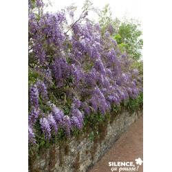 WISTERIA sinensis PALIS C4L - SILENCE ÇA POUSSE