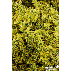 Euonymus fortunei emerald n gold c 2 v tal - SILENCE ÇA POUSSE