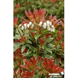 Pieris j.little heath variegat c 4.5 tb - SILENCE ÇA POUSSE