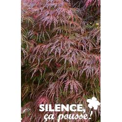 ACER palmatum Dissectum Garnet TFE C10L - SILENCE ÇA POUSSE