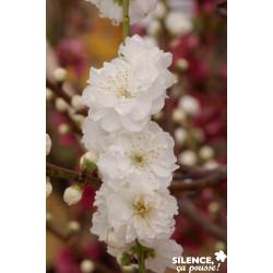 PECHER persica Taoflora® Blanc BALIV C10L - SILENCE ÇA POUSSE