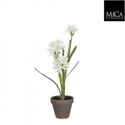 Agapanthus blanc pot Stan d11,5cm - h45xd20cm - MICA
