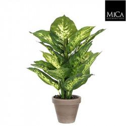 Dieffenbachia vert pot Stan d11,5cm - h40xd30cm - MICA