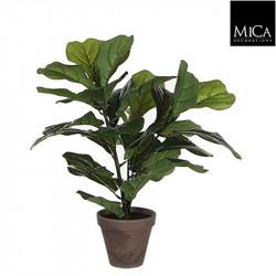 Ficus Lyrata vert pot Stan d13,5cm - h35xd45cm - MICA