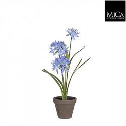 Agapanthus bleu pot Stan d11,5cm - h45xd20cm - MICA