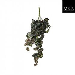 Peperomia à suspendre vrt panaché - l58xb20xh14c - MICA
