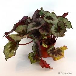 """Begonia """"Rex"""" Profitplant - Ø17 CM"""