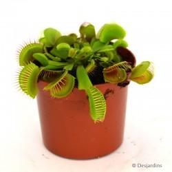Dionaea Muscipula - Ø8 CM
