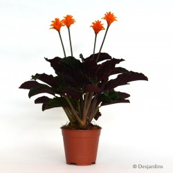 Calathea Crocata - Ø13 CM