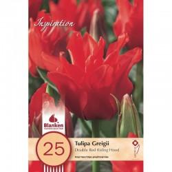 """""""Tulipe Greigii Red Riding Hood"""" Blanken X25 - calibre 10/11"""